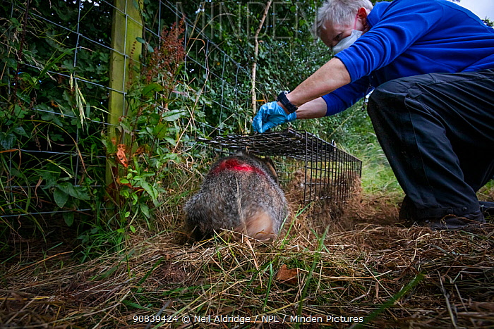A European badger (Meles meles) is released from a cage trap after being vaccinated against TB. North Somerset, UK. The red spray on its side indicates the badger has been vaccinated in case it is trapped again. Badger vaccination programmes are being carried out in England as a means of controlling the spread of TB between badgers and cattle, and as a viable alternative to the controversial government-sanctioned cull of badgers.