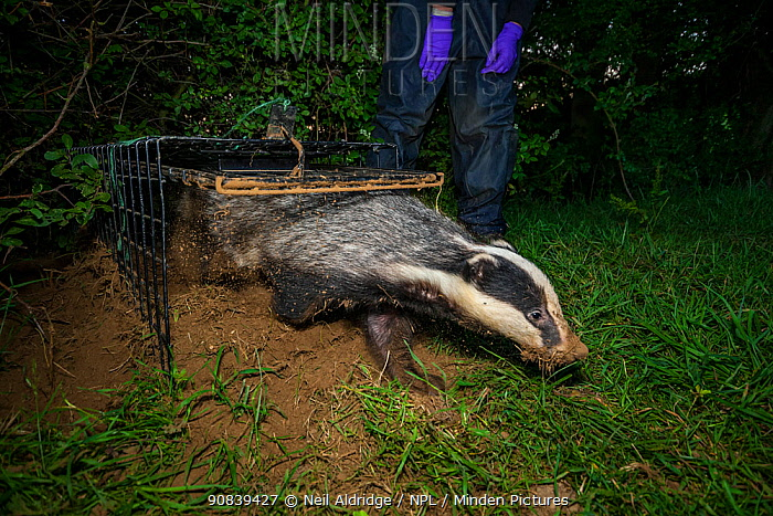 A European badger (Meles meles) leaves a cage trap after being vaccinated against TB. North Somerset, UK. Badger vaccination programmes are being carried out in England as a means of controlling the spread of TB between badgers and cattle, and as a viable alternative to the controversial government-sanctioned cull of badgers.