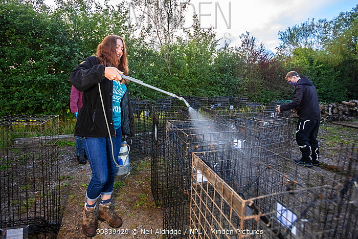 Cages used for trapping European badgers (Meles meles) for vaccination against TB are sprayed with disinfectant. North Somerset, UK. Badger vaccination programmes are being carried out in England as a means of controlling the spread of TB between badgers and cattle, and as a viable alternative to the controversial government-sanctioned cull of badgers.