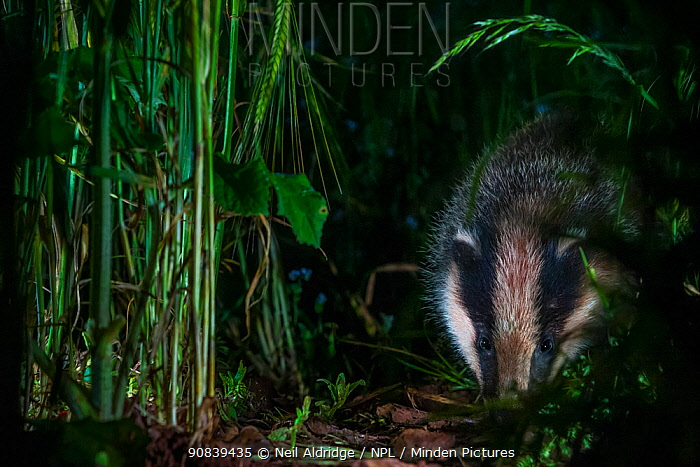 A European Badger (Meles meles) searches for food on farmland on a summer night. Somerset, UK.