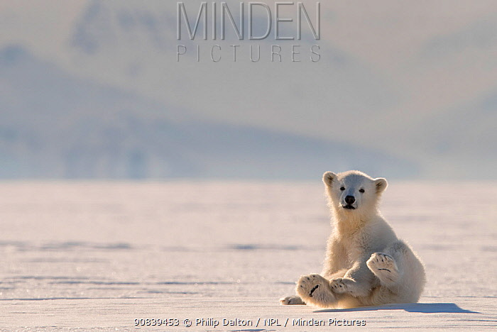 Polar bear (Ursus maritimus) cub on ice, Svalbard, Norway.