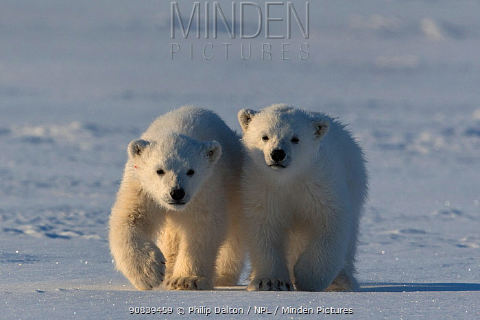 Polar bear (Ursus maritimus) two cubs walking side by side, Svalbard, Norway.