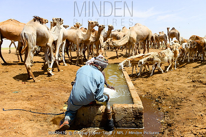 Nomad with dromedary camel herd at an artificial water trough / well in the Sahara desert, northern Chad. September 2019.