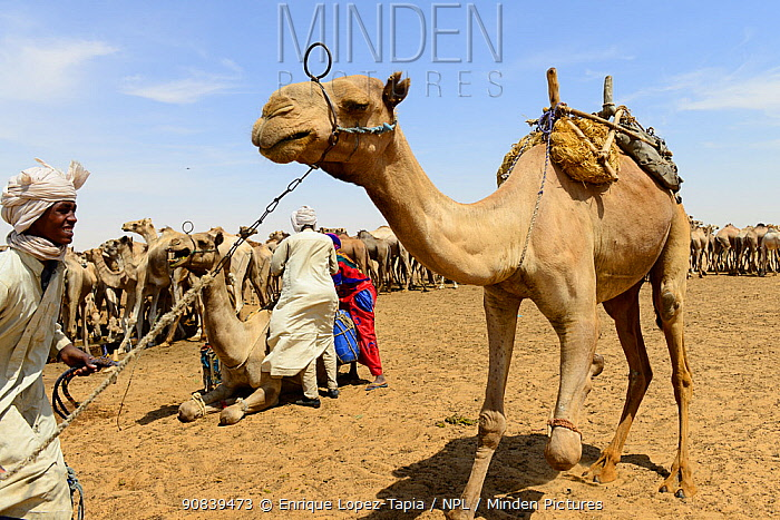 Nomads with their Dromedary camel (Camelus dromedarius) herds in an artificial water well in the Sahara desert, northern Chad. September 2019.
