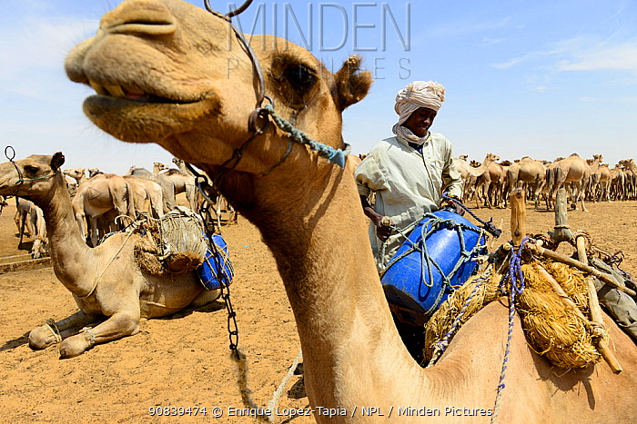 Nomad with Dromedary camel (Camelus dromedarius) herd at an artifiical water well in the Sahara desert, northern Chad. September 2019.