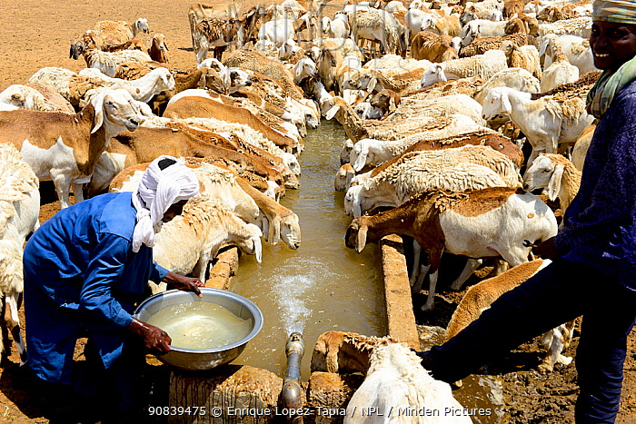Sheep herd drinking water from an artificial well in the Sahara desert, northern Chad. September 2019.