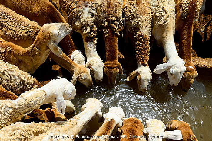 Sheep drinking water from an artificial well in the Sahara desert, northern Chad. September 2019.