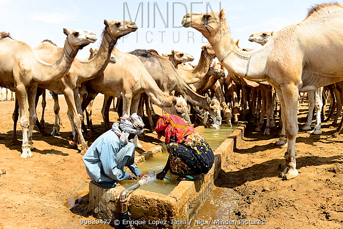 Nomads at an artifical well with their Dromedary camel (Camelus dromedarius) herd in the Sahara desert, northern Chad. September 2019.