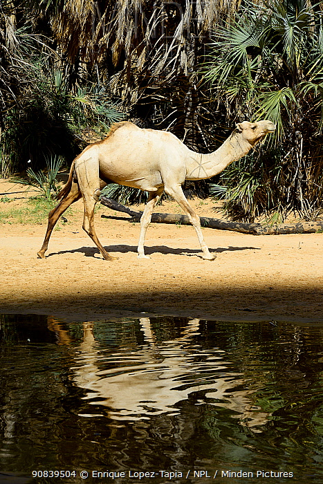Dromedary camels (Camelus dromedarius) inside one of the gorges with water of the Ennedi plateau. Ennedi Natural and Cultural Reserve, UNESCO World Heritage Site, Chad. September 2019.