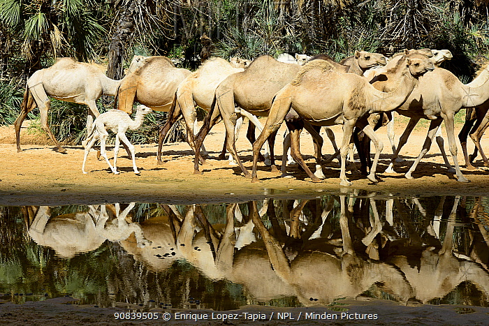 Dromedary camel (Camelus dromedarius) herd beside water inside a gorge on the Ennedi plateau. Ennedi Natural and Cultural Reserve, UNESCO World Heritage Site, Chad. September 2019.