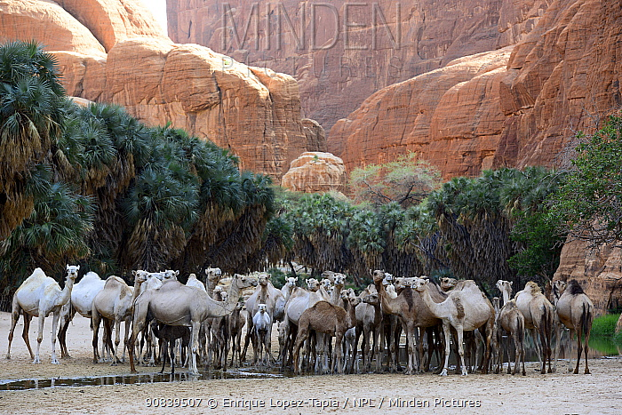 Dromedary camels (Camelus dromedarius) in a gorge with water and trees on the Ennedi plateau. Ennedi Natural and Cultural Reserve, UNESCO World Heritage Site, Chad. September 2019.