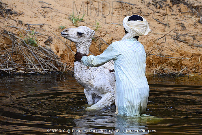 Boy washing a Dromedary camel (Camelus dromedarius) calf in the water of a gorge. Ennedi Natural and Cultural Reserve, UNESCO World Heritage Site, Chad. September 2019.