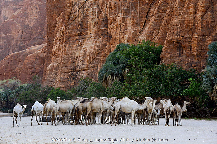 Dromedary camel (Camelus dromedarius) herd ins a gorge with water on the Ennedi plateau. Ennedi Natural and Cultural Reserve, UNESCO World Heritage Site, Chad. September 2019.