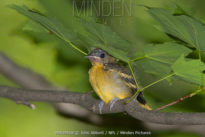 Northern / Baltimore Oriole (Icterus galbula) chick sheltering under leaf, Maryland, USA