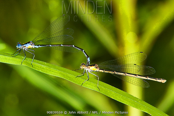 Aurora Damselfly (Chromagrion conditum) male and female in tandem, Pennsylvania, USA
