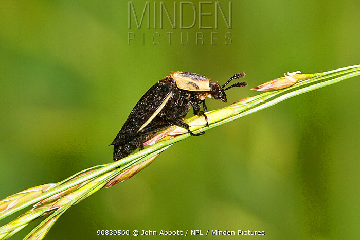 American Carrion Beetle (Necrophila americana), Pennsylvania, USA.