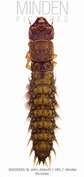 Eastern dobsonfly (Corydalus cornutus), Texas, USA, September.