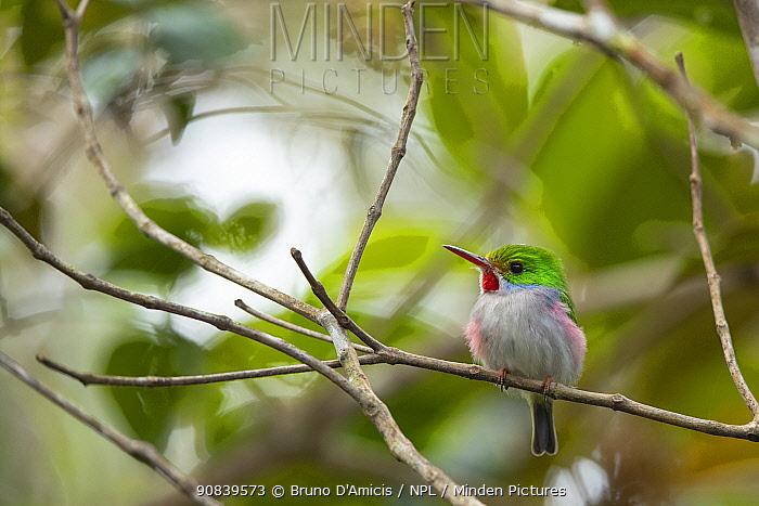 Cuban tody (Todus multicolor). Endemic to Cuba. Humboldt National Park, 2019.