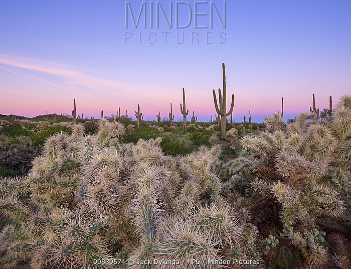 Chain cholla (Cylindropuntia fulgida) and Saguaro (Carnegiea gigantea) cacti in Sonoran Desert, at dawn. Ironwood National Monument, Arizona, USA.