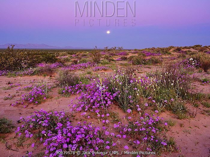 Sand verbena (Abronia villosa) and Desert lily (Hesperocallis Undulata) flowering on Mowhawk Dunes, following sunset, full moon setting. Barry M Goldwater Air Force Range, Arizona, USA. March 2020.