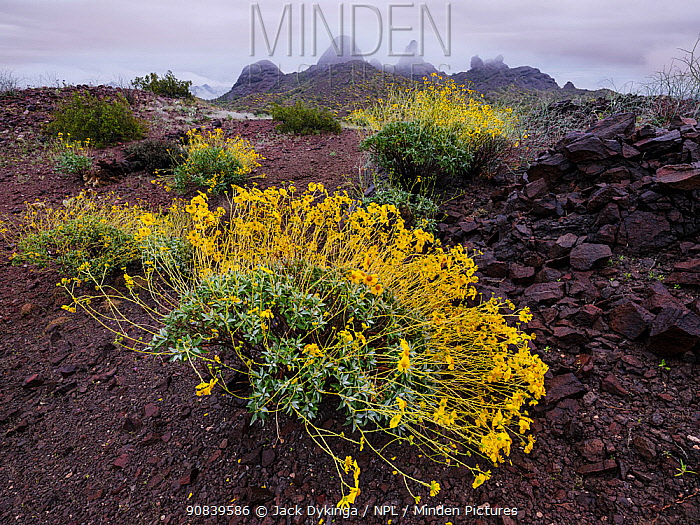 Brittlebush (Encelia farinosa) with mountains in background, following rainfall. Cabeza Prieta National Wildlife Refuge, Arizona, USA. March 2020.