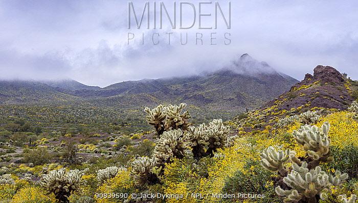 Teddy bear cholla (Cylindropuntia bigelovii) cacti amongst Brittlebush (Encelia farinosa) flowers. Sonoran Desert in stormy morning light. Cabeza Prieta National Wildlife Refuge, Arizona, USA. March 2020.