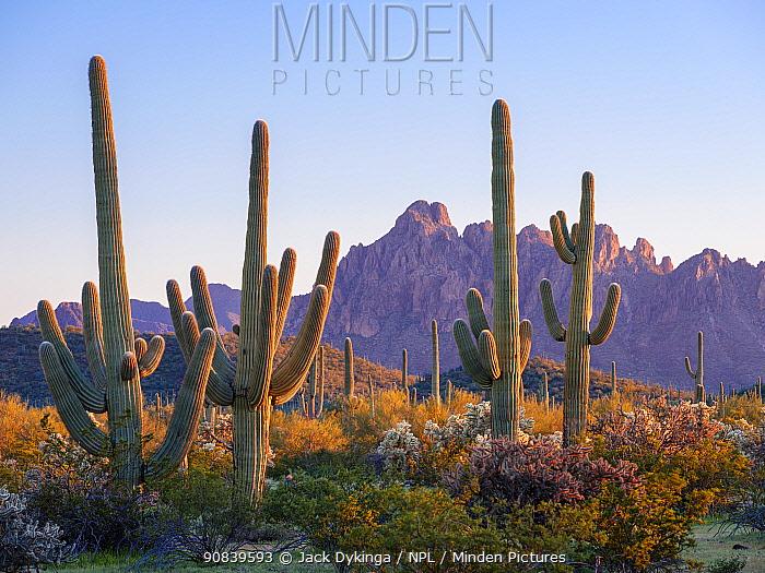 Saguaro (Carnegiea gigantea) and Chain cholla (Cylindropuntia fulgida) cacti with Rugged Top Mountain, Silverbell Range in background, at sunset. Ironwood National Monument, Arizona, USA. February 2020.