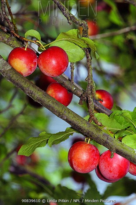 Cherry plum (Prunus cerasifera) fruit, Hampton Court, Richmond Upon Thames, England, UK. July.