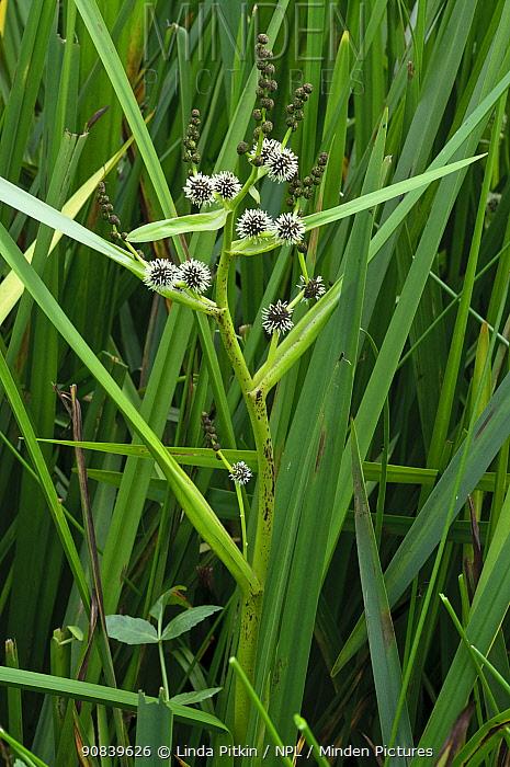 Branched bur-reed (Sparganium erectum) in pond,  South West London, England, UK. June.