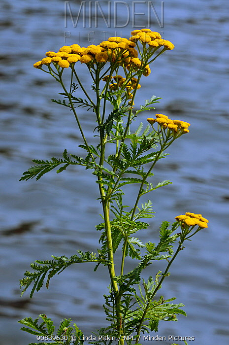 Tansy (Tanacetum vulgare) on bank of River Thames. Hampton Wick, Richmond Upon Thames, England, UK. July.