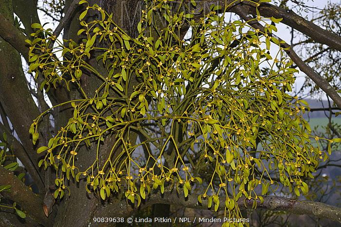 Mistletoe (Viscum album). Box Hill, Surrey, England, UK. March.