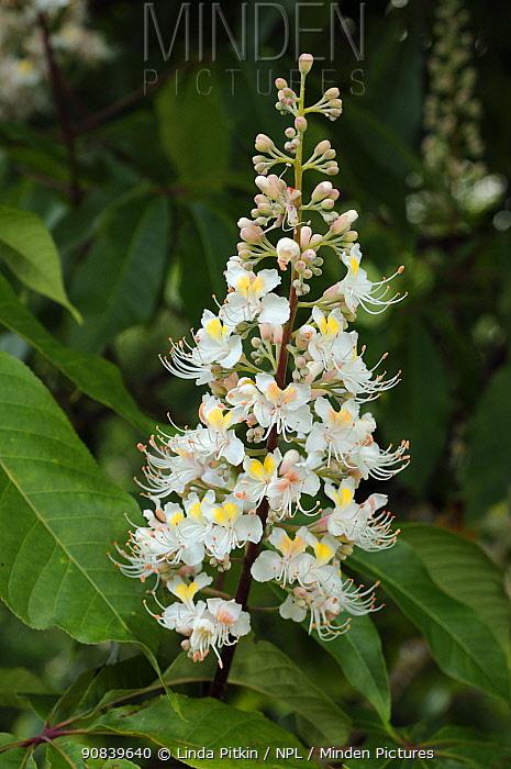 Horse-chestnut (Aesculus hippocastanum). Hampton Court, Richmond Upon Thames, England, UK. June.