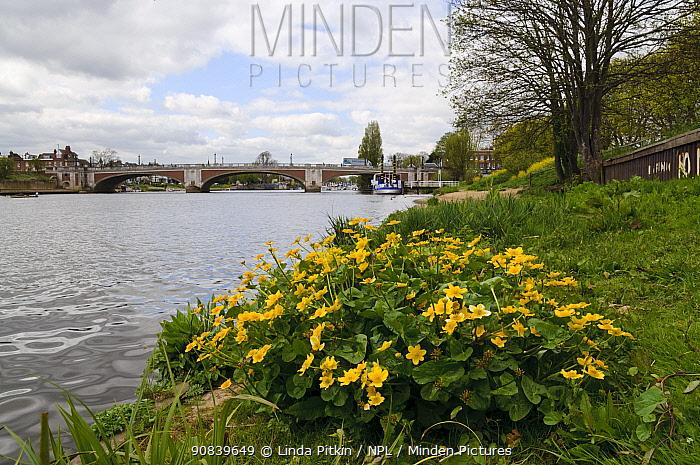 Marsh-marigold (Caltha palustris) on bank of River Thames, Hampton Court Bridge in background. Richmond Upon Thames, England, UK. April 2015.