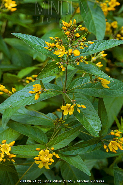 Yellow loosestrife (Lysimachia vulgaris). Hampton Court, Richmond Upon Thames, England, UK. July.