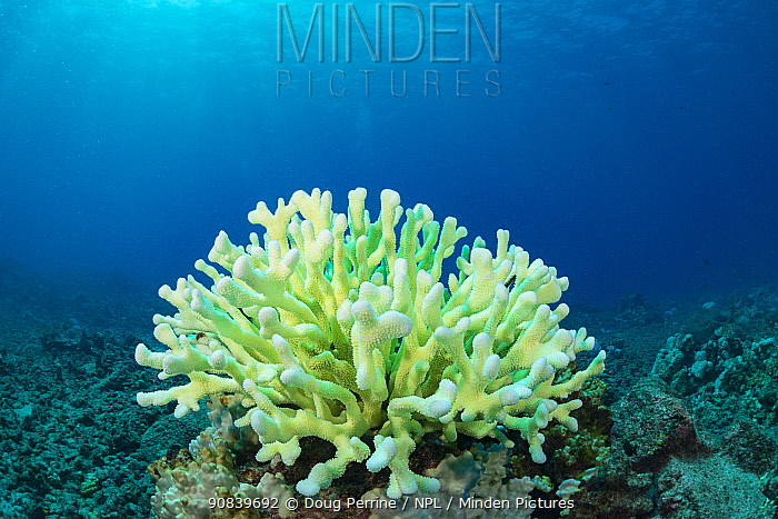 Antler coral (Pocillopora grandis) showing bleaching with pastel green fluorescence. This is believed to result from pigments produced by coral acting as sunscreen in an attempt to survive bleaching. El Nino year with high ocean temperatures. Lone Tree Arch, Kona, Hawaii, USA. October 2015.