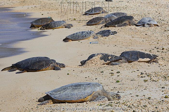 Hawaiian green sea turtle (Chelonia mydas) group basking on beach with plastic bottle litter. Turtle Beach, Sand Island, Midway Atoll National Wildlife Refuge, Papahanaumokuakea Marine National Monument, Northwest Hawaiian Islands, USA.