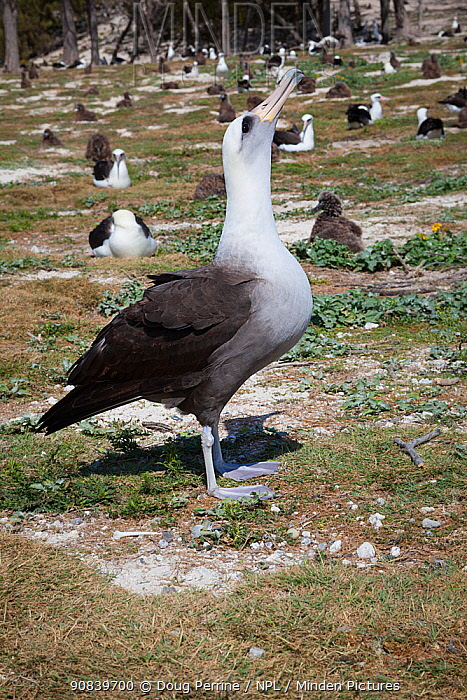 Hybrid Laysan albatross x Blackfooted albatross (Phoebastria immutabilis x nigripes) sky-pointing while courting Laysan albatross, within breeding colony. Sand Island, Midway Atoll National Wildlife Refuge, Papahanaumokuakea Marine National Monument, Northwest Hawaiian Islands, USA.