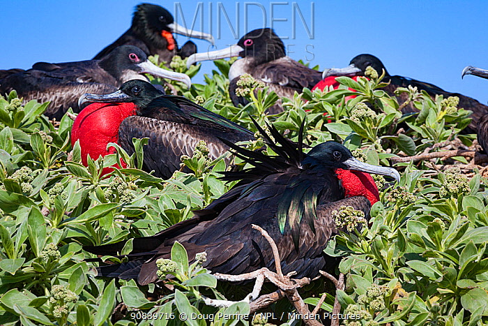 Great frigatebird (Fregata minor palmerstoni) group perched in vegetation, males in courtship display with inflated red throat pouch. Eastern Island, Midway Atoll National Wildlife Refuge, Papahanaumokuakea Marine National Monument, Northwest Hawaiian Islands, USA.