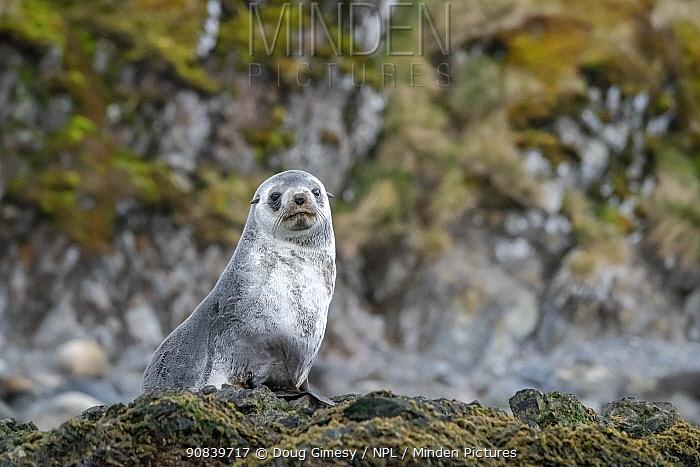 Antarctic fur seal (Arctocephalus gazella) hauled out on seaweed covered rocks. Right Whale Bay, South Georgia. November.
