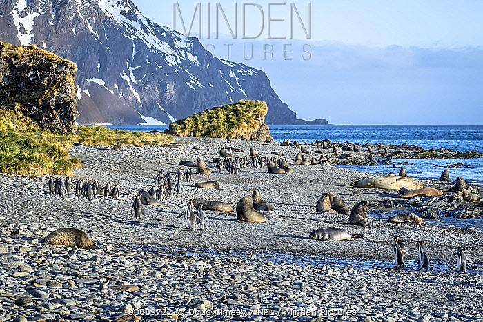 King penguin (Aptenodytes patagonicus), several walking on rocky beach amongst resting Antarctic fur seal (Arctocephalus gazella). Whistle Cove, Fortuna Bay, South Georgia. November 2018.