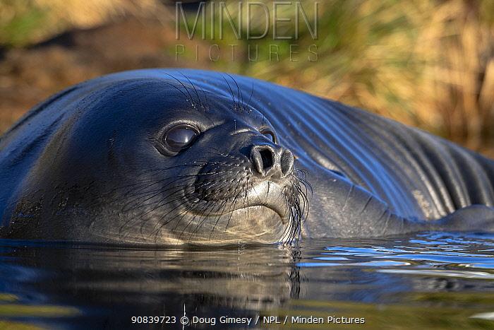 Elephant seal (Mirounga leonina) pup bathing in puddle. Whistle Cove, Fortuna Bay, South Georgia. November.