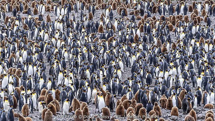 King penguin (Aptenodytes patagonicus) breeding colony, many adults and chicks. Fortuna Bay, South Georgia. November.