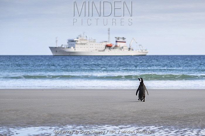 Magellanic penguin (Spheniscus magellanicus) walking out to sea towards ship. Saunders Island, Falkland Islands. November 2018.