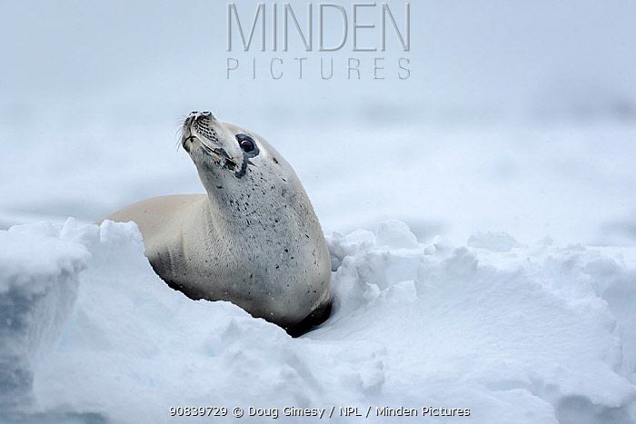 Crabeater seal (Lobodon carcinophaga) hauled out on snow. Wauwermans Islands, Antarctic Peninsula, Antarctica. December.
