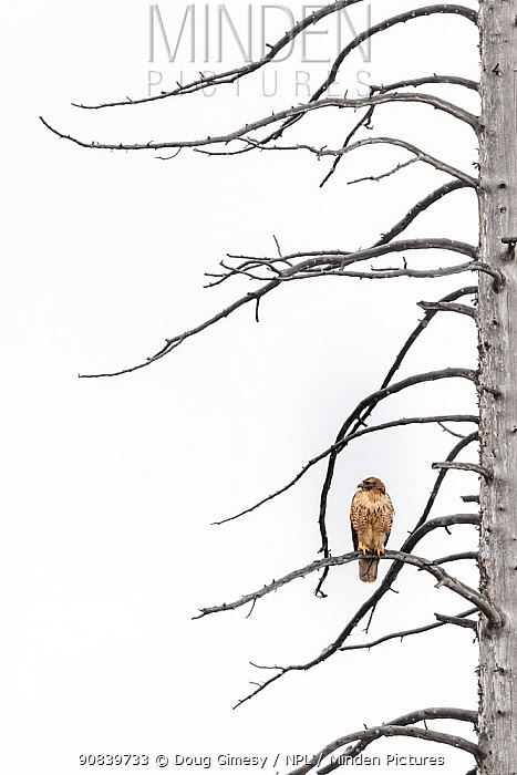 Red-tailed hawk (Buteo jamaicensis) perched on branches of tree during light snowfall. Yellowstone National Park, Wyoming, USA.? October.