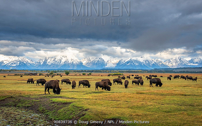 Bison (Bison bison) herd grazing on plain, snow and cloud covered mountains in background. Grand Tetons area, Wyoming, USA.? September 2019.