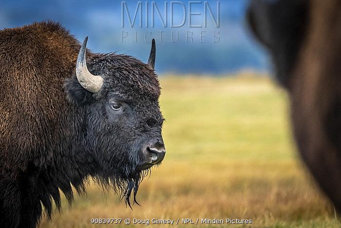 Bison (Bison bison) on plain, portrait. Grand Tetons area, Wyoming, USA. September.