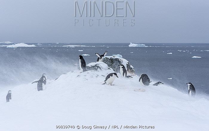 Chinstrap penguin (Pygoscelis antarcticus), individuals walking across rocky snow covered ground in blizzard. Orne Harbour, Antarctic Peninsula, Antarctica. December.