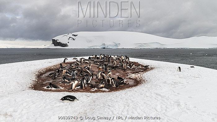 Gentoo penguin (Pygoscelis papua) breeding colony surrounded by snow. Mikkelsen Harbor, Antarctic Peninsula, Antarctica. December 2018.