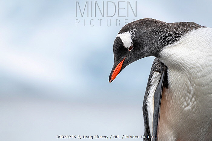 Gentoo penguin (Pygoscelis papua) portrait. Paradise Harbour, Antarctic Peninsula, Antarctica. December.